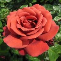 Роза терракота (terracotta) — описание чайно-гибридного сорта