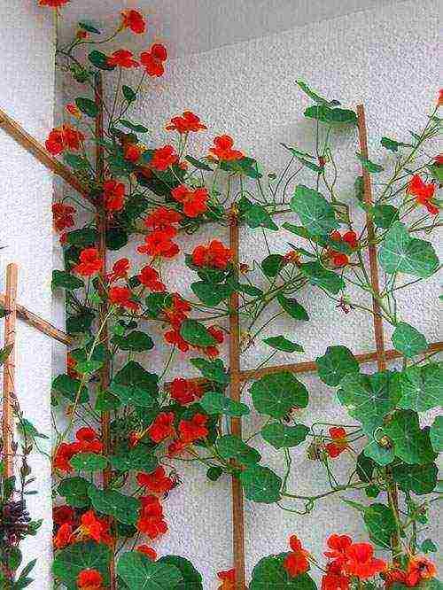 Настурция: посадка и уход в открытом грунте сада