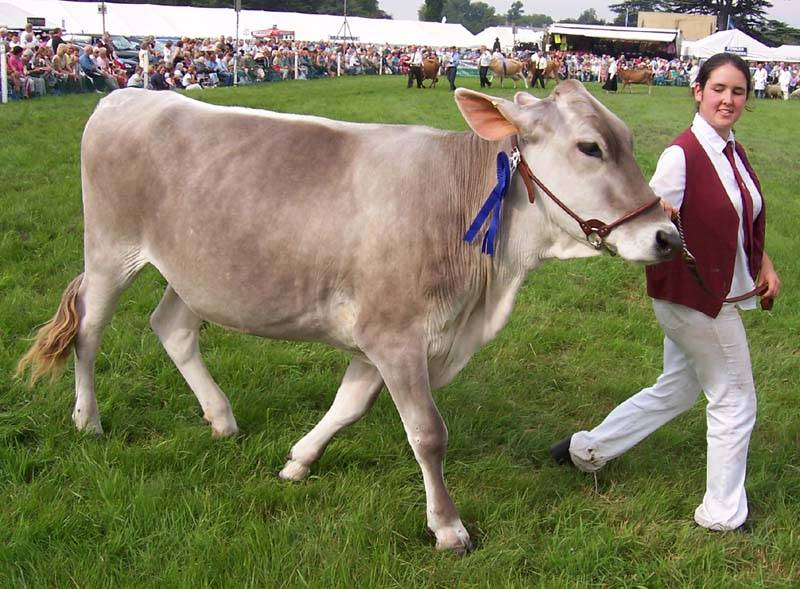 Джерсейская порода коров - крс с лучшей характеристикой жирности молока 2020