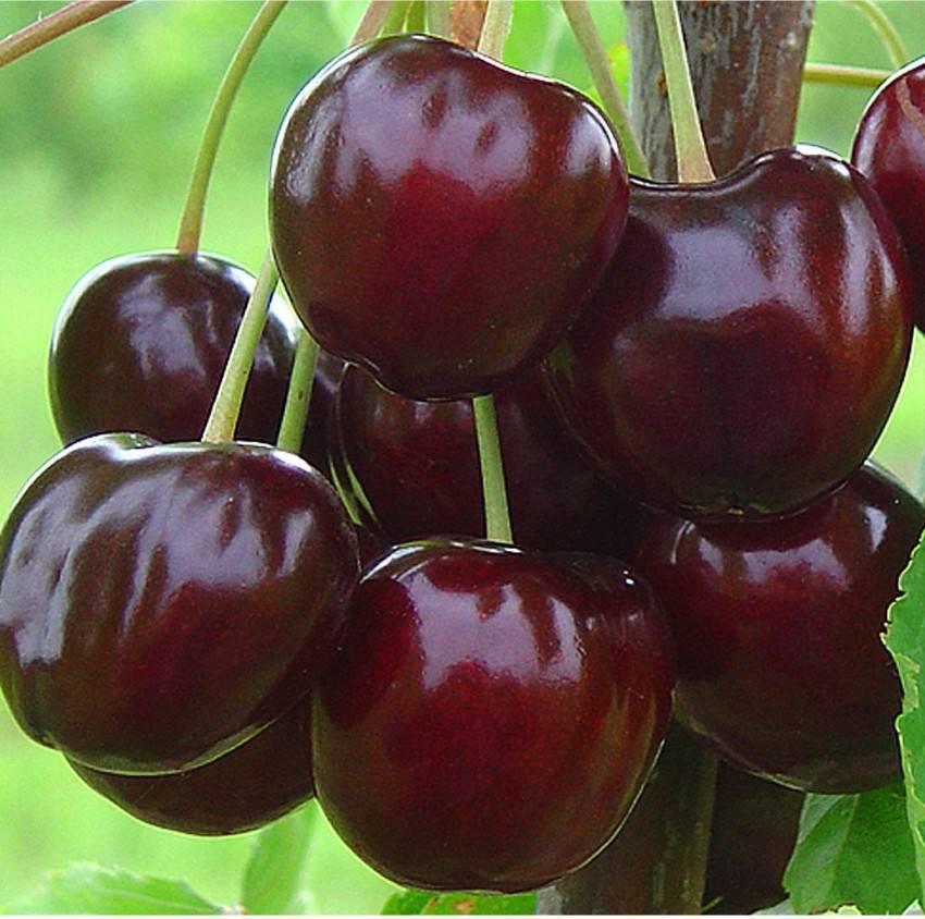 Особенности вишнёво-черешневого гибрида (дюка)