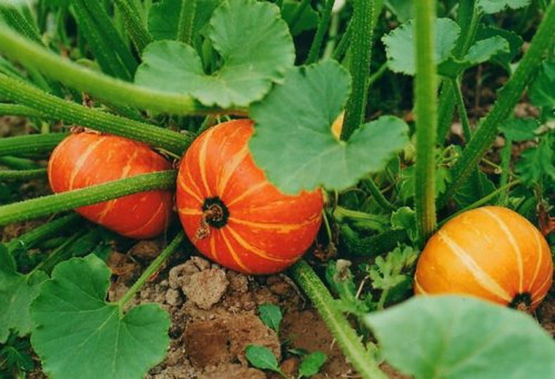 Тыква: уход и выращивание в открытом грунте - подробная инструкция!