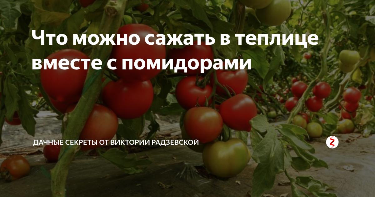Что лучше посадить в теплице рядом с помидорами