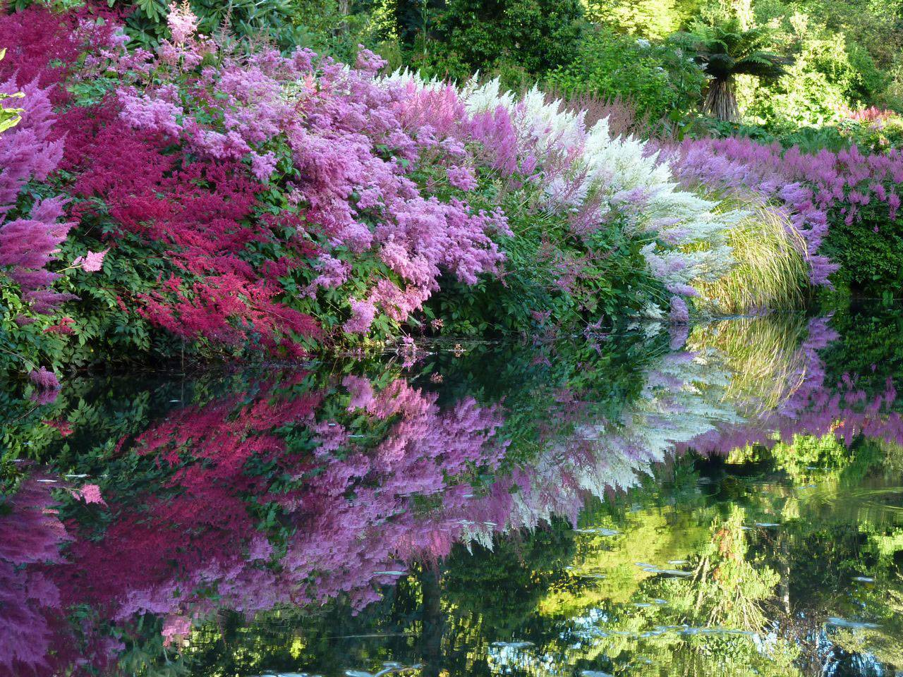 Многолетний цветок астильба: фото и описание растения, как ухаживать и размножать астильбу
