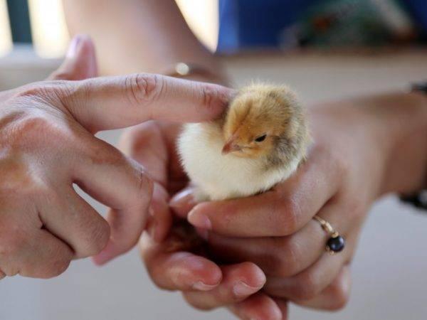 Цыплята вылупились в инкубаторе, и что делать дальше с суточными за новорожденными?