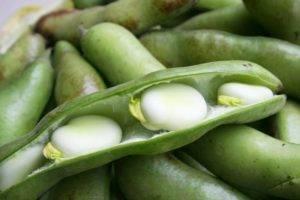Бегония домашняя: характеристика и условия выращивания