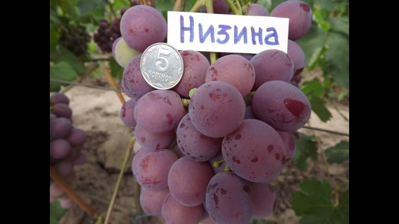 Полное описание сорта винограда низина - общая информация - 2020