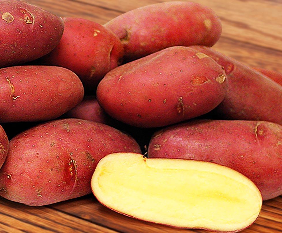Сорт картофеля «каменский»: характеристика, описание, урожайность, отзывы и фото