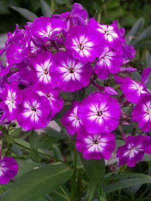 Флоксы многолетние - посадка и уход за яркими цветами