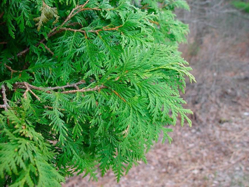 Туя западная: виды, особенности выращивания, уход