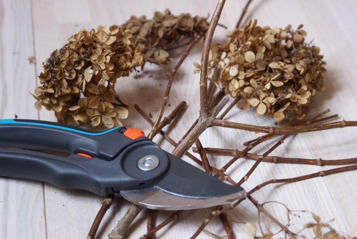 Гортензия метельчатая: фото, описание, размножение, уход и обрезка