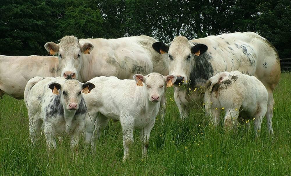 Мясные породы коров - описание, характеристики, фото и видео   россельхоз.рф