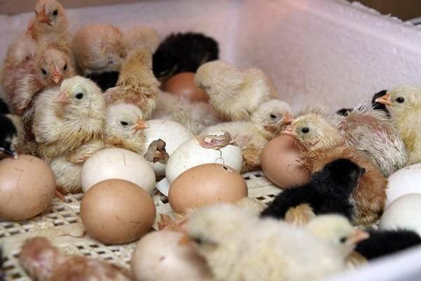 Лечения поноса у цыплят в домашних условиях