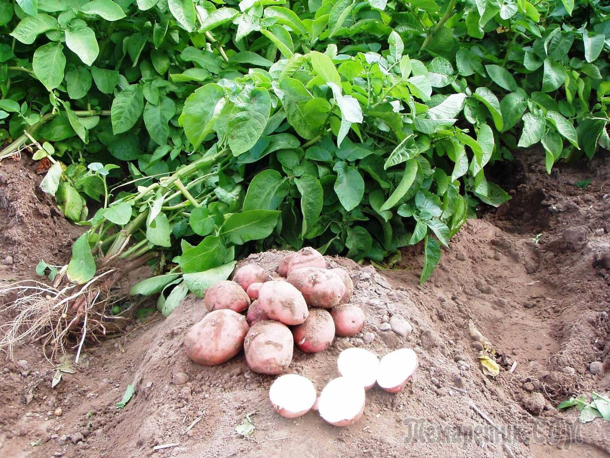 Сидераты для картофеля: какие лучше посеять осенью, какой эффект ожидается