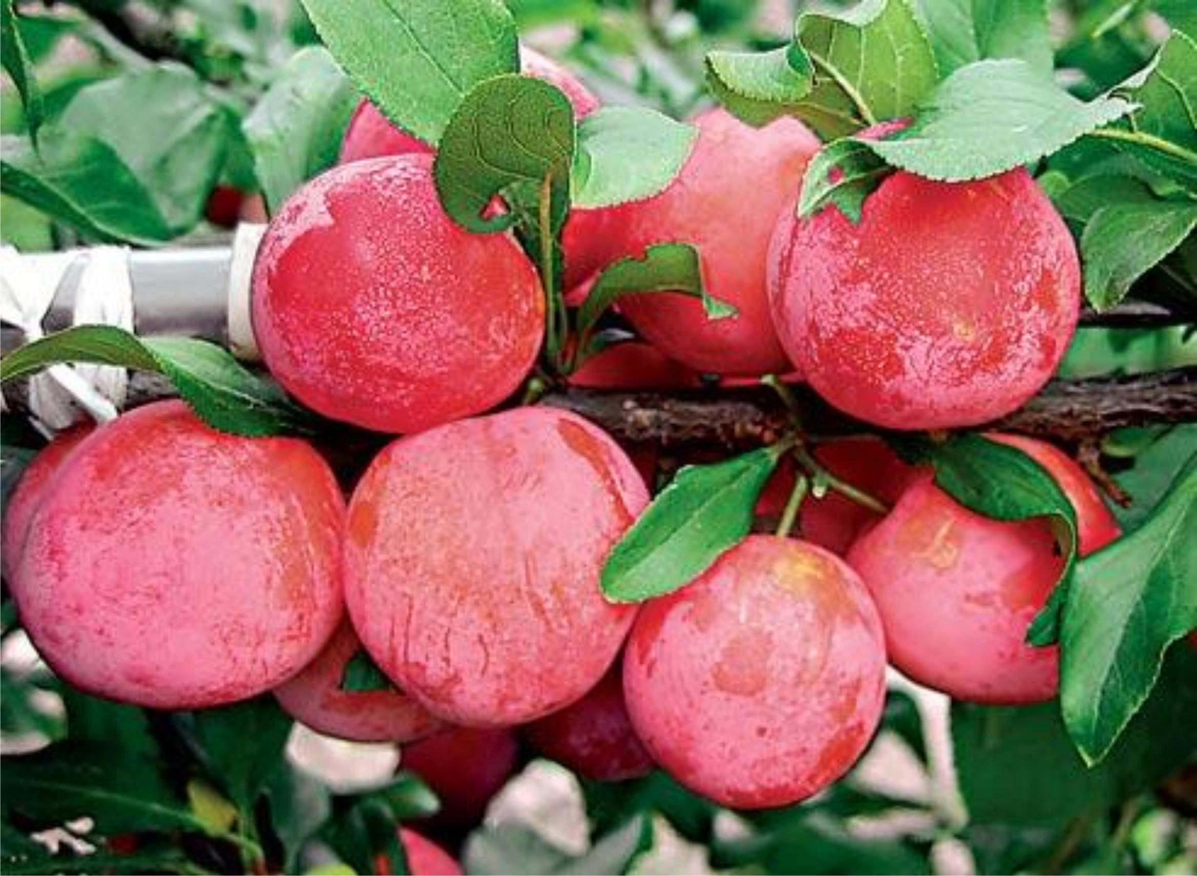 Слива персиковая описание фото отзывы оладьи