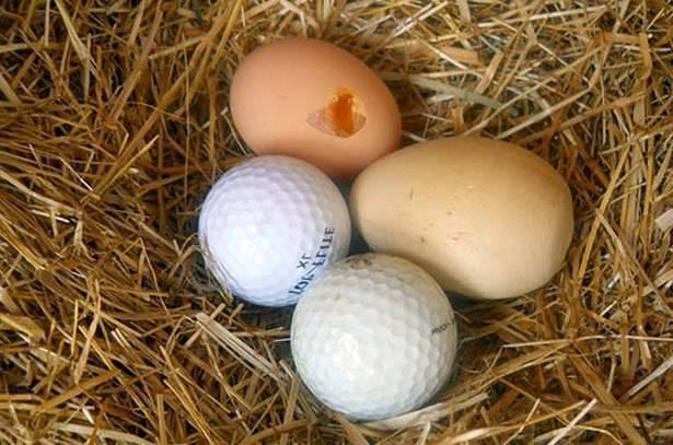 Куры клюют свои яйца – в чем причина и что делать?