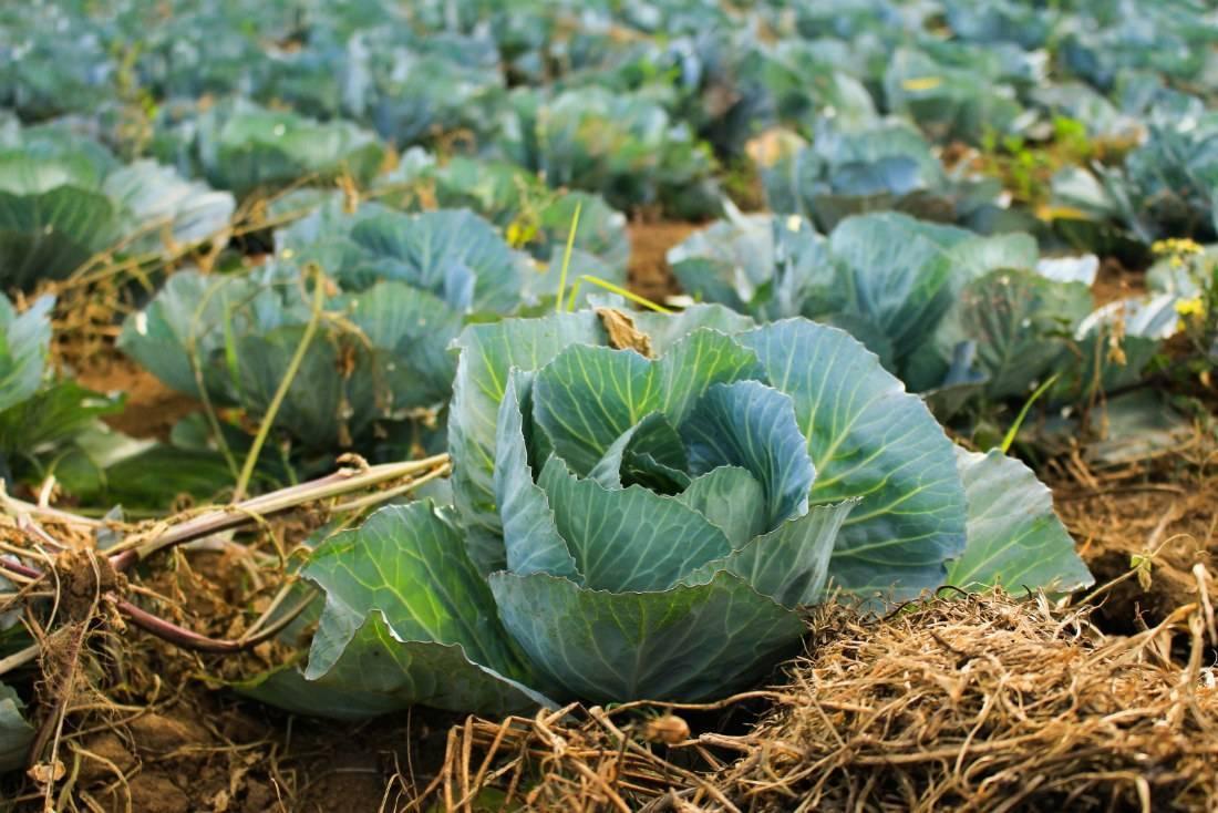 Хорошие и плохие соседи цветной капусты. что посадить рядом с овощем в открытом грунте?