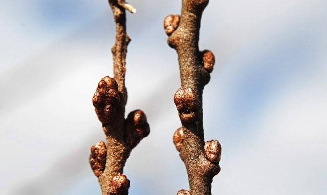 Облепиха как узнать женское дерево или мужское. как отличить мужскую облепиху от женской