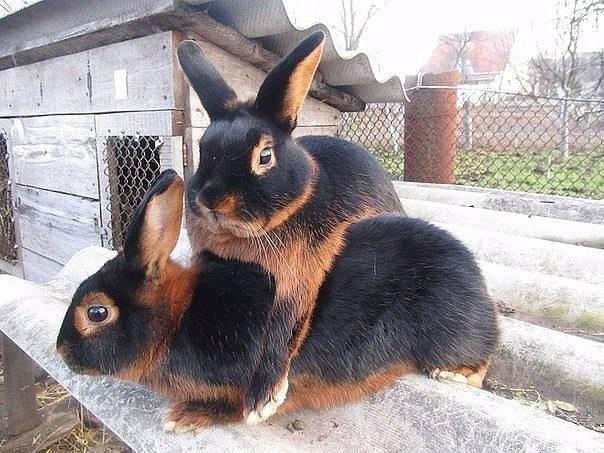 Рекс (порода кроликов) — циклопедия