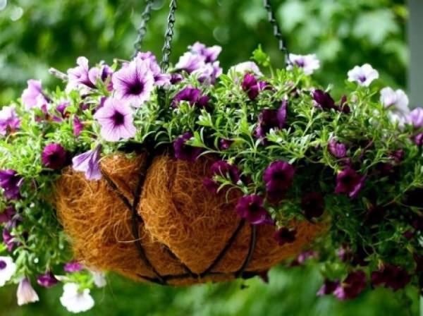 Болезни петунии – ищем лучшее лекарство для цветов