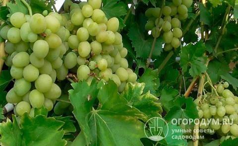 Посадка винограда весной – инструкция для новичка