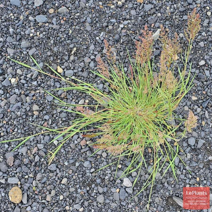 Полевица побегоносная — описание растения