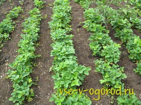 Как правильно обрезать усы и листья клубники после посадки до и после плодоношения