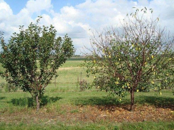 Лечение вишни: особенности ухода за культурой в подмосковье