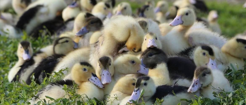 Сколько сидит индоутка на яйцах