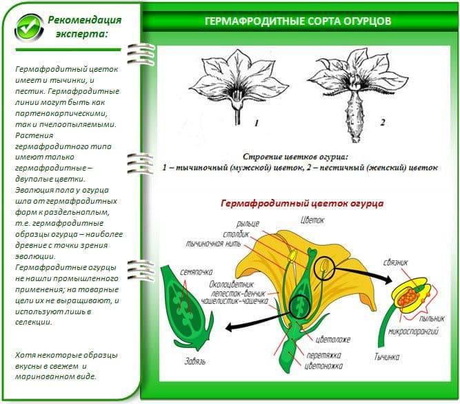 Партенокарпические сорта огурцов для теплицы