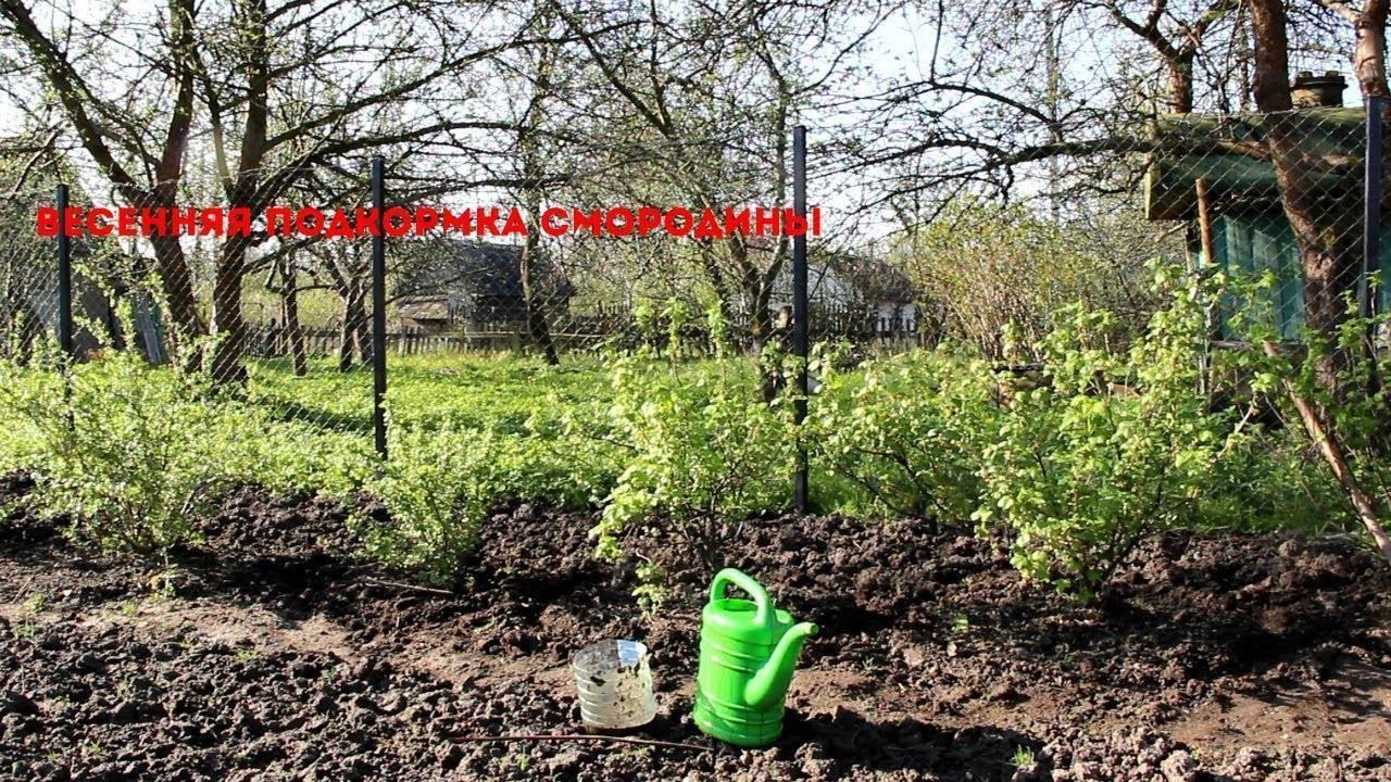 Подкормка смородины и крыжовника весной: народные средства, удобрения