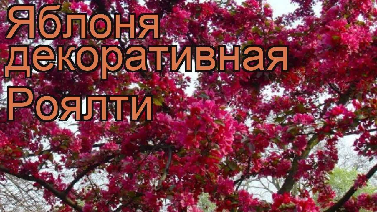 Характеристика яблони роялти: фото и описание сорта