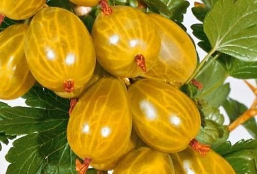 Крыжовник янтарный — особенности выращивания и уход