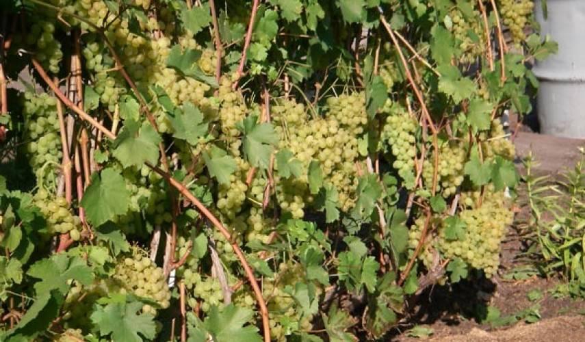 Как выращивать виноград в ленинградской области