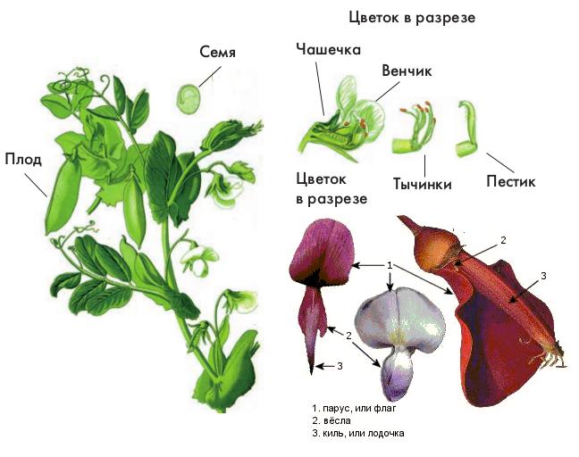Фасоль: характеристика видов и агротехника выращивания