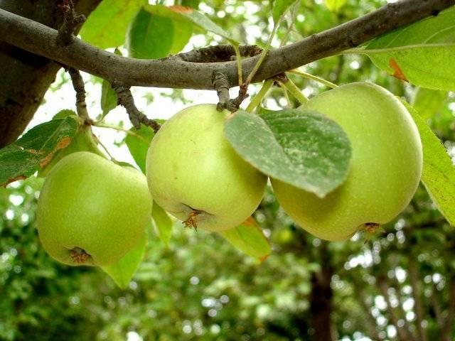 5 причин, почему не плодоносит яблоня