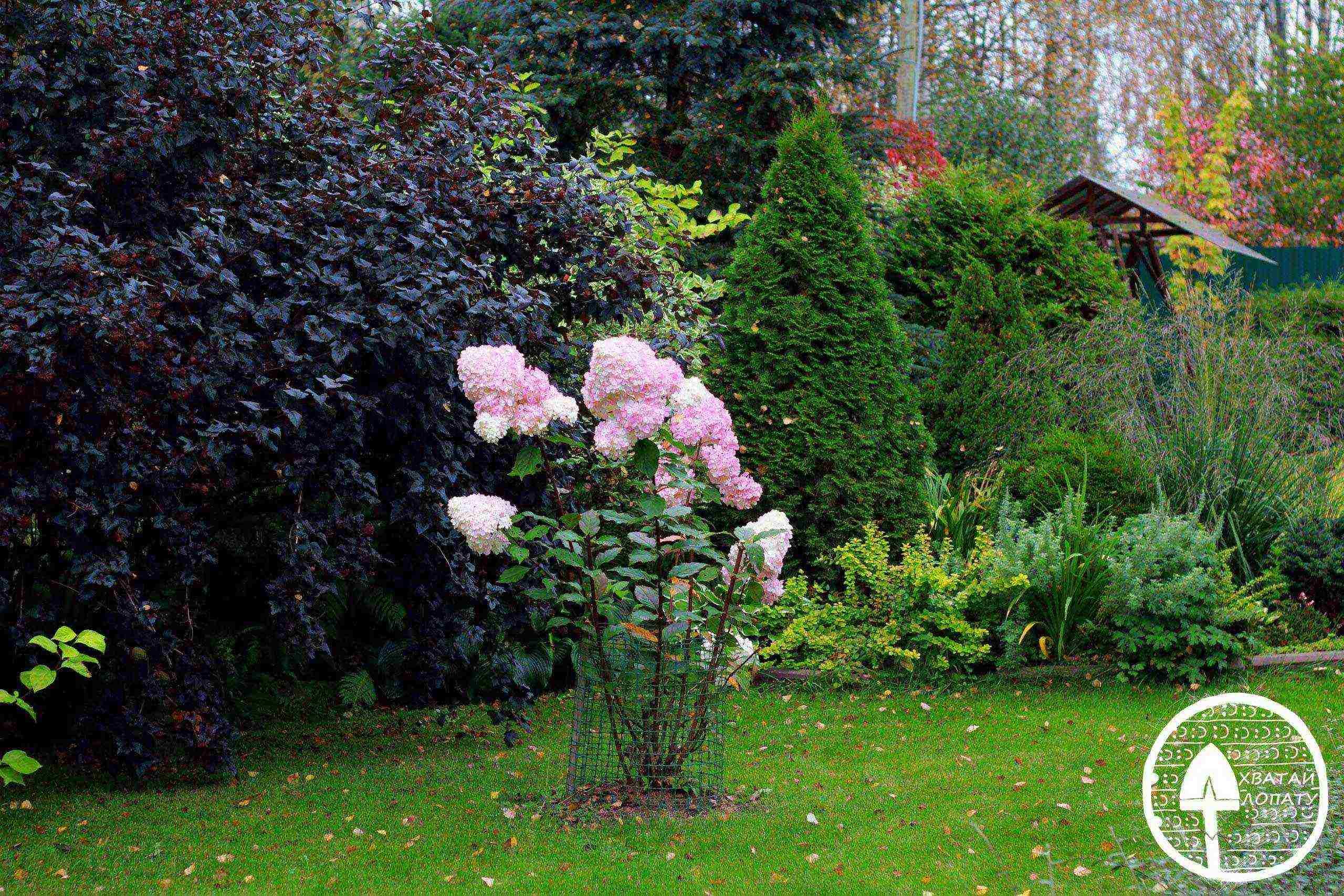 Гортензия ванилла фрейз (vanille fraise): метельчатая, садовая