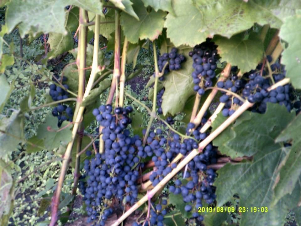 Виноградный сорт мукузани — описание и особенности выращивания
