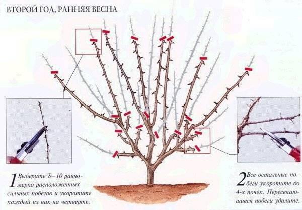 Как обрезать крыжовник весной: стрижка, омоложение, формирование куста