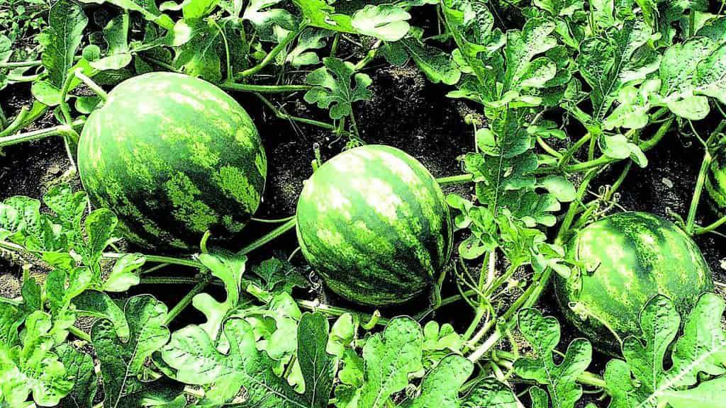 Выращивание арбуза - секреты получения сладкого урожая
