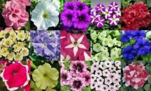 Можно ли собирать семена с петунии? сроки сбора семян, полная инструкция, советы по хранению и выращиванию рассады петунии