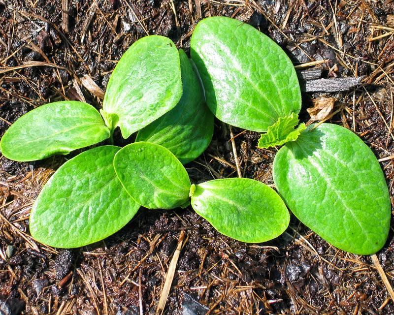 Выращиваем кабачки в открытом грунте