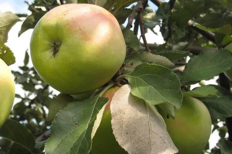 Яблоня сорта богатырь: описание и особенности