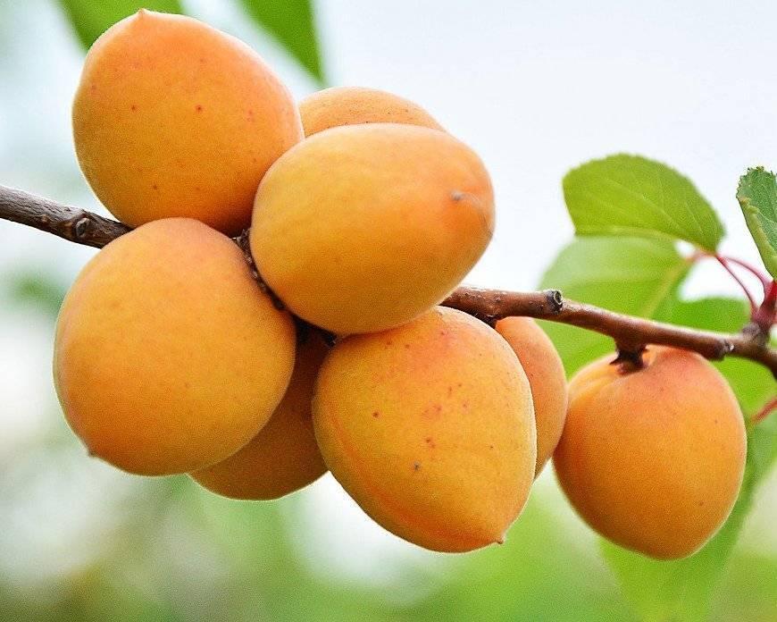 Характеристики сорта абрикосов погремок, описание достоинств и недостатков, урожайность