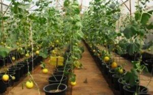 Все о выращивании дыни в открытом грунте и теплице
