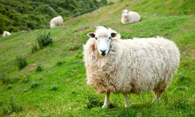 Овцеводство для начинающих: основные правила и рекомендации