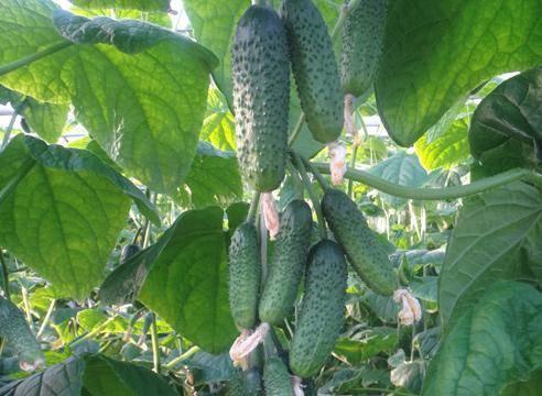 Огурцы партенокарпические — лучшие гибриды и секреты обильного урожая