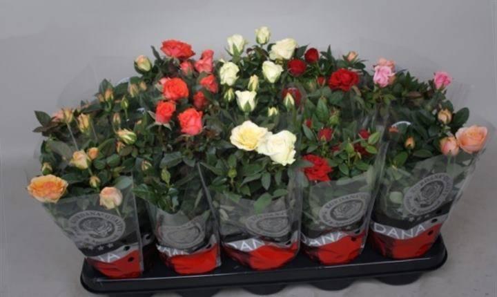 Высаживание розы Кордана микс в открытый грунт, пересадка, размножение, уход