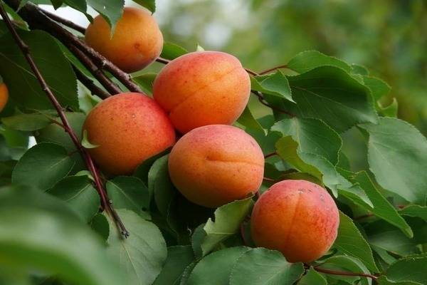Сложности выращивания абрикоса в хабароском крае