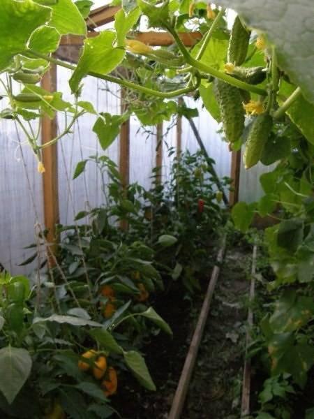 Совместимость растений на огороде: таблица. что с чем сажать