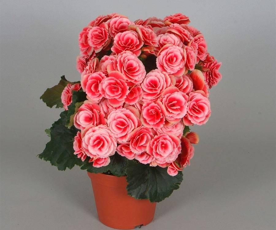 Растение бегония: описание цветка, выращивание, уход, размножение в домашних условиях, характеристика сортов и видов